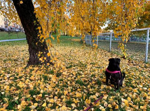 LUFTEGÅRD: Gjerdet rundt hundeparken i Iladalen må fjernes, da kommunen mener den er satt opp ulovlig. Her er Daniela Farias' hun Nemi utenfor luftegården i parken.