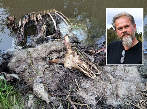 Et av sauekadavrene som ble funnet på Sand gård tidligere i august. – Det er ikke noe moro å konstant være redd for dyra dine, sier bonde Øistein Skullerud.