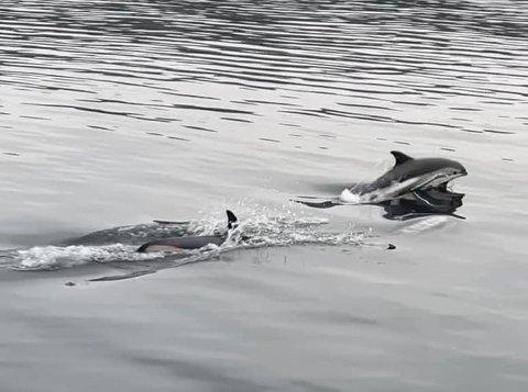 NYSGJERRIGE: Dei tumlar, hoppar og søkjer ofte mot båtane, smådelfinane som kan observerast langs kysten vår om du der heldig. Det var Aud Sigrun Landøy nyleg.