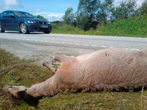 FØREBYGGANDE HJORTESKYTING: Kinn kommune opnar no for å skyte hjort som oppheld seg nær bilveg, for å førebyggje påkøyrsler. Her frå ei påkøyrsle på Botnastranda.