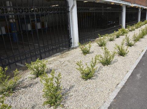 Ein ser tydeleg hola i rekkene der nokon har stole plantar utanfor den gamle sentergarasjen.