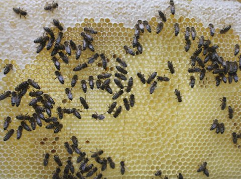 GRØNNE MIDLER: Lyst på honning fra egen hage? Nå kan du blant annet søke om støtte til birøkt. Arkivfoto: Kristin Trosvik