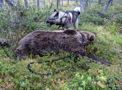Denne bjørnen ble felt i Narjordet i Os, onsdag morgen.