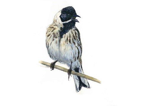 Den ikoniske Sivspurven er en av flere fuglearter som nå er i ferd med å forsvinne fra elvedeltaet Nordre Øyeren Naturreservat.