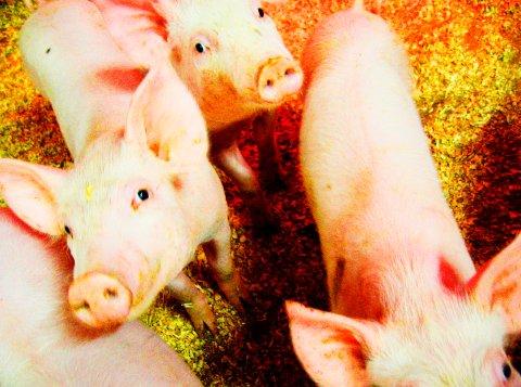 En dokumentar om svineprodusenter som sendes på NRK onsdag kveld har skapt reaksjoner. Nå anmelder Nortura en av sine leverandører på bakgrunn av det som fremkommer i filmen.