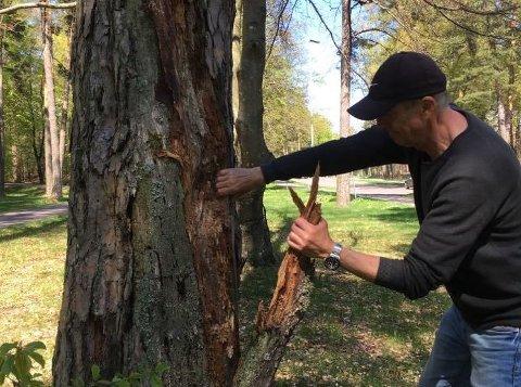 TRÆR: Petter Flaatten håper noen tar tak og fjerner disse råtne trærne i Stenmalen.