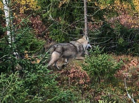 MANGE VIL JAKTE: Denne ulven ble observert ved Såner i forbindelse med høstens elgjakt. Nå skal den og de andre ulvene i Hobølreviret trolig skytes, og interessen for å være med på jakta er stor.