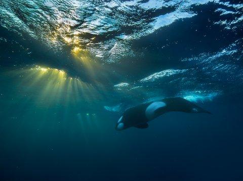 Bildet «Underwater symphony» var et av bildene Rikardsen valgte å ta med i sin portefølje.