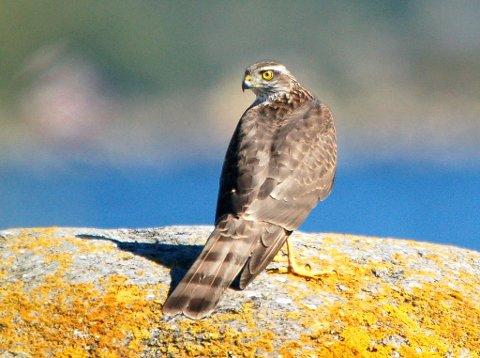 Én spurvehauk ble registrert i Rana under Hagefugltellingen i år.