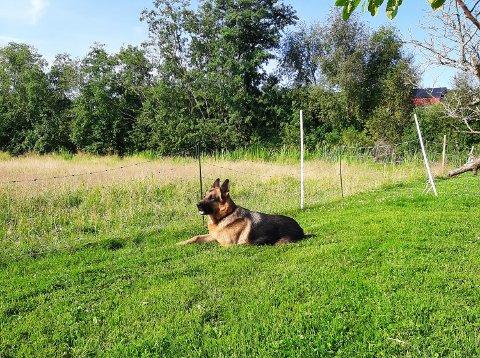 SAVNER SAUENE: Rune Jacobsen forteller at hunden Odin ofte ligger ved inngjerdingen og venter på at sauene skal komme tilbake igjen.