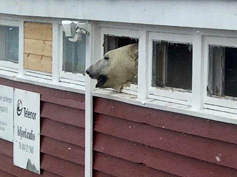 Kapp Linné, Svalbard  20180603. En isbjørn titter ut av en vindusåpning, etter at den brøt seg inn i en lagerbygning som tilhører hotellet Isfjord Radio på Svalbard.  OBS kredit Foto: Hilde Kristin Røsvik / Svalbardposten / NTB scanpix