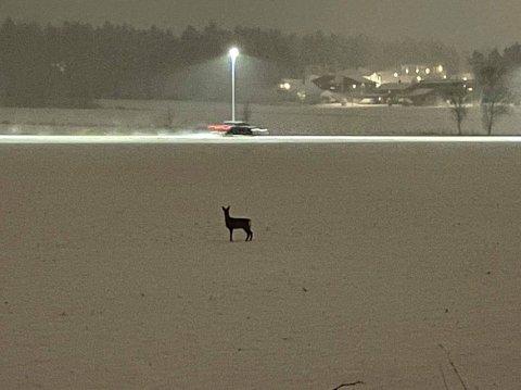 Flere har vært bekymret for rådyrene på jordene ved Begby, Lundheim og Gudeberg. Fredrikstad kommune har besøkt dyrene, og forteller at det ikke er grunn til bekymring. Her fotografert ved Haldenveien på Begby.
