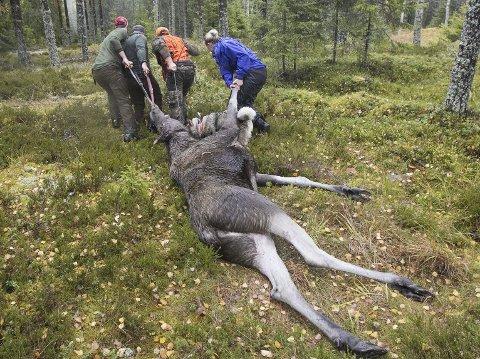 Drastisk ned: Det skytes stadig mindre elg i glåmdalsdistriktet og Nes. Antallet har gått ned med nær 1000 de siste fem årene.