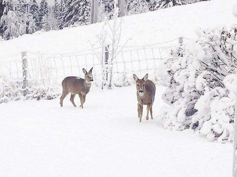 9. Rådyr i snøen. Foto: Kjetil Midtenget
