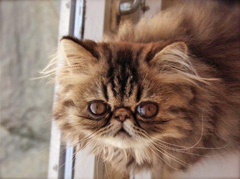 IKKE FORLAT MEG: Tenk på katten din før du reiser på ferie.