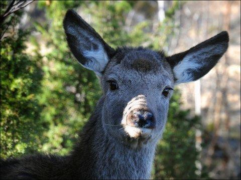Alle hjortehovud i Kvinnherad skal no sjekkast med omsyn til ein ny hjernesjukdom hos vilt. (Arkivfoto Atle Helland)