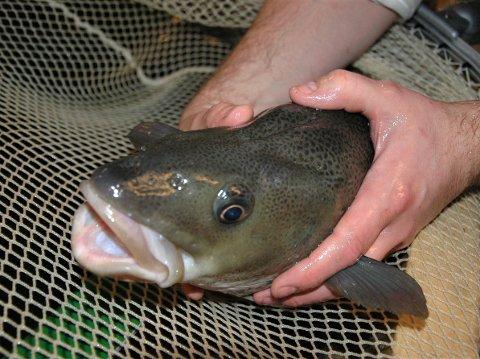 IKKE LOV: Torskebestanden har gått kraftig ned. Derfor blir det forbudt å fiske torsk fra lørdag 22.06.19