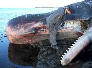 Spermhvaler strander med jevne mellomrom. Årsaken er ukjent. Nå kan nordlysforskere i Tromsø ha bidratt til å finne et av svarene. Denne hvalen endte sine dager på Svalbard.