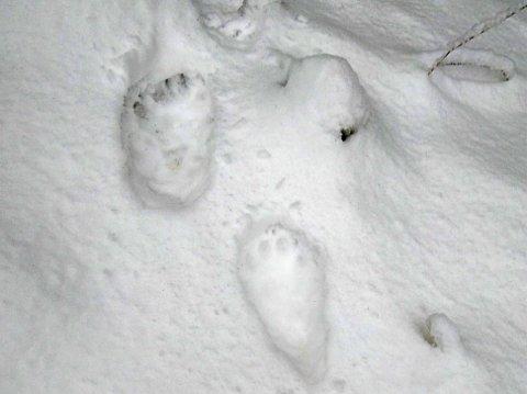 JERVESPOR: DNA prøver avslører at jerven på Totenåsen har vandret nordover til Valdres.