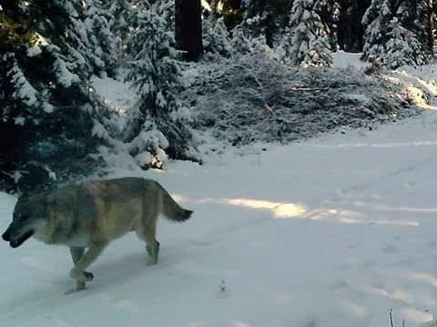 BILDET: Eiendomsretten i ulvesona kan sammenliknes med at du kjøper deg et hus, men får beskjed av myndighetene om at du ikke får lov til å bo i huset, skriver Sætre. (Foto: Privat)