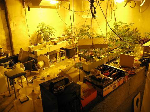 PLANTASJE: Etter at politiet stoppet en ruset råkjører besluttet de å ransake huset hans. Da fant de denne cannabisplantasjen i kjelleren.