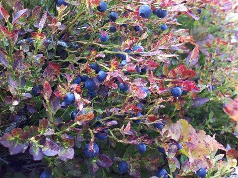 BLÅBÆR: Flere steder i fjellet er det mengder av blåbær (foto T.E.Løken).