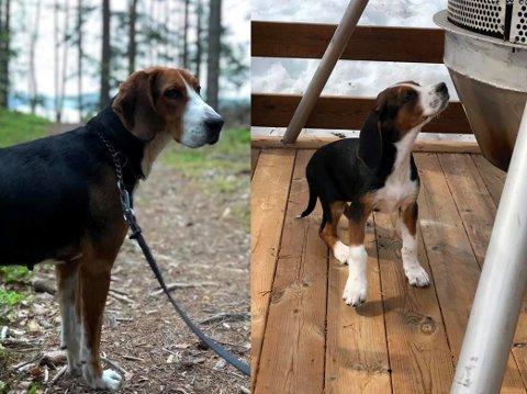 Kom tilbake: Hundene Kreeta (1,5) og Falla (4 mnd) dukket opp igjen av seg sjøl lørdag morgen.