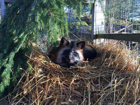 Sølvrev: Her er Ingrid i sitt nye hjem. Men hun blir fortsatt bruk til hitrening.