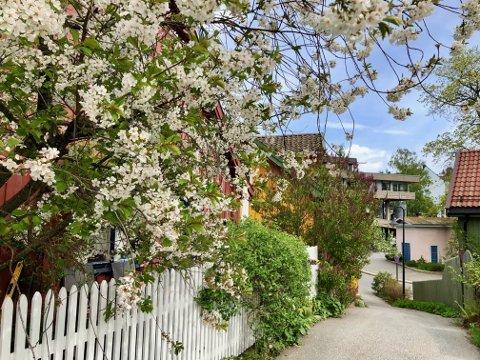 Slik så det ut i Drøbak sentrum søndag formiddag. De nærmeste timene er det ikke bare hvite blader fra frukttrærne som vil drysse.