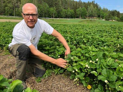 - SER BRA UT:- Vi fikk et par leie kuldedager i starten av mai, men ellers ser det ikke så verst ut med tanke på jordbær, sier Bjørn Dahl. FOTO: Ole Jonny Johansen