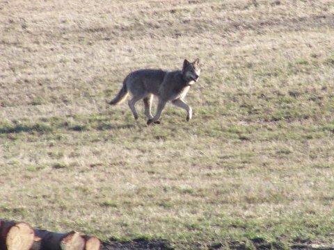 En radiomerket ulv