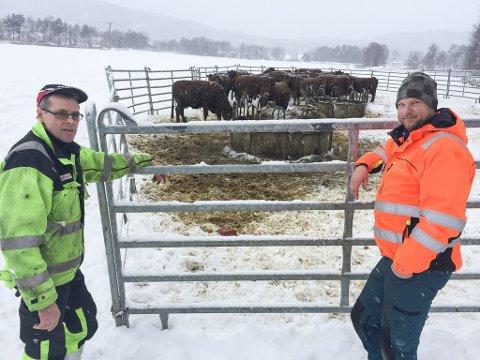 FLYTTES INN: Erik Aaen (t.h.) og faren Kåre flyttet inn denne kjøttfeflokken et par dager før nyttårsaften, men Erik forteller at utegående storfe fort blir urolige av fyrverkeri.