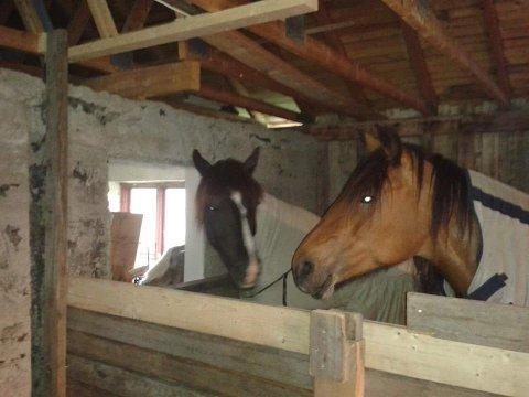 STALLET OPP: Hestene er i god behold men savner eieren sin.