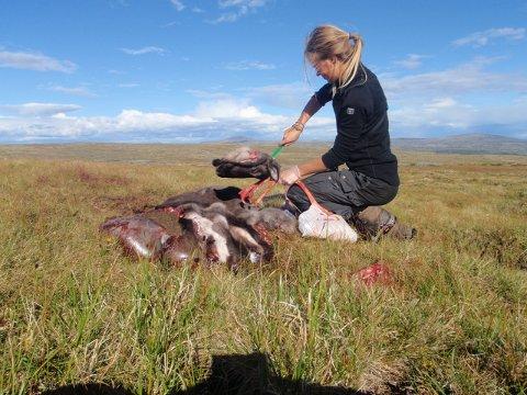 IKKE SÅ LETT: Å hente ut hjerneprøver fra hjortedyr er ikke lett, derfor holder Kristine Lund Austvik nå kurs for intereserte jegere.