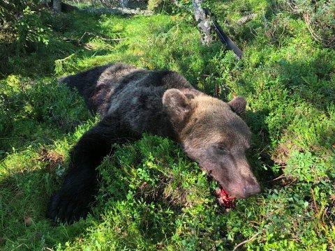 DNA-analyser fra to bjørner er klare og viser at de oppholdt seg i samme områder over lang tid. Denne bjørnen ble skutt i Rendalen 19. august.