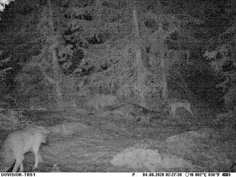 PÅ VILTKAMERA: To ulver passerte SNOs viltkamera, og Miljødirektoratet melder om pardannelse der hannen er den genetisk viktige ulven som ble fraktet vekk fra tamreinområder ved Elgå i november 2019, og som har vandret både i Norge og Sverige før den nå kan ha slått seg ned i Deisjøreviret.