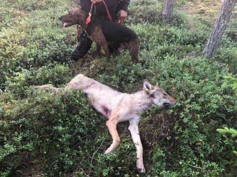 SØR FOR AUMA: Ble denne ulven felt søndag kveld av det interkommunale skadefellingslaget etter at fellingstillatelse var gitt tidligere på kvelden.