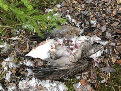 SKUTT: Restene av kanadagåsen som ble funnet ved Pollevann.