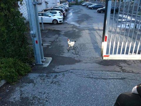KJENDIS: Hanen som holder hus utenfor politihuset i Ski, trives åpenbart der den er. Dette bildet ble tatt i morges av Øst-politiet.