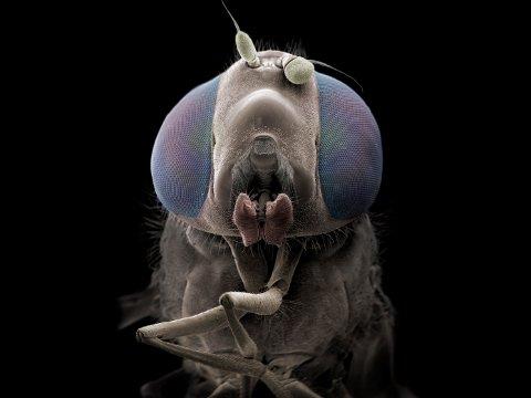 PÅ NÆRT HOLD: Fargelagt elektronmikroskopibilde av en blomsterflue som er forstørret 70 ganger. Munnen bruker den til å suge til seg nektar og de to korte antennene på hodet bruker den til å lukte og orientere seg.