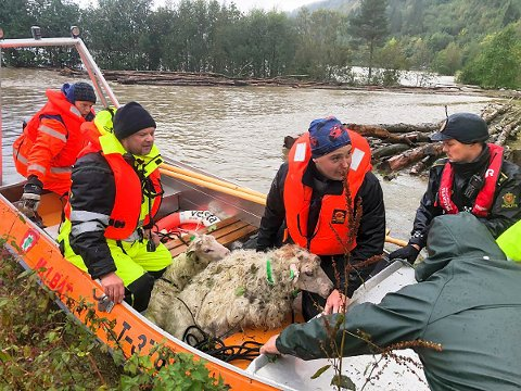 Sauer reddes ut av elva Surna i Møre og Romsdal som har gått over sine bredder. 70 sauer ble tatt av vannet, også kyr skal være tatt. Foto: Tor Helge Solli /Tidens Krav / NTB scanpix