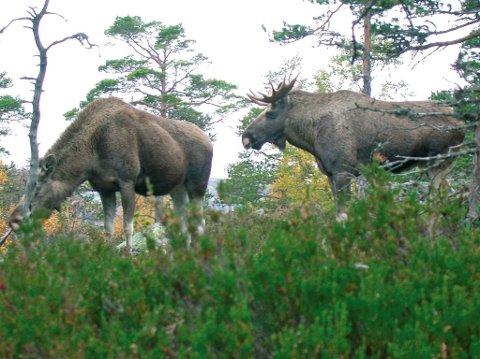 KRAFTIG REDUSERT: Etter år med nedgang i elgbestanden i Risør,og områdene rundt, gjør nå også nedgangen seg gjeldende blant elgjegerne. På fem år har 25 prosent av elgjegerne i Risør lagt børsa på hylla. Foto: arkvi