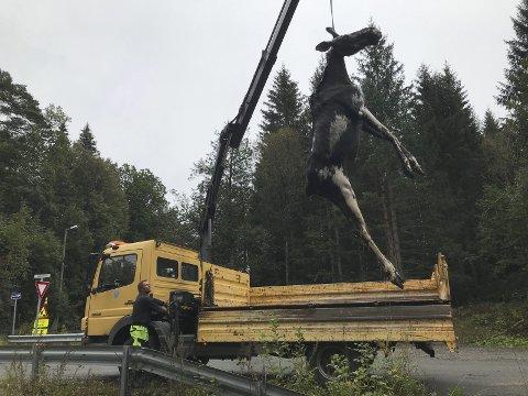 Tragisk: Elgen ble heist på land og begravet mandag. Foto: Kåre Sander Nilsen