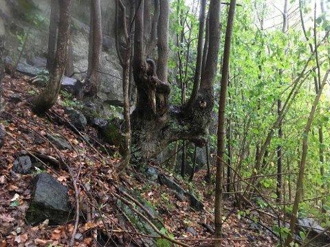 Gammel lind i Urfjellsheia og Dalsheia naturreservat.