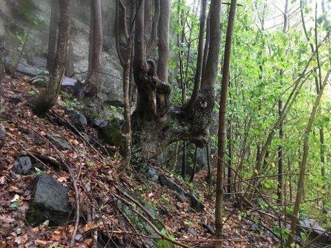 Gammel lind i Urfjellsheia og Dalsheia naturreservat. Tre grunneiere får nå erstatning for å la skogen stå urørt.