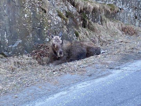 Elgen hadde brukket to bein etter at den hadde hoppet ned en fjellskrent i Grønningveien.