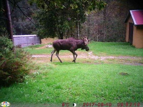 PASSERTE VILTKAMERA: Elg og hjort har sin trekkrute forbi gården Liestøl. Det er tydelig ut fra bildet av denne oksen.