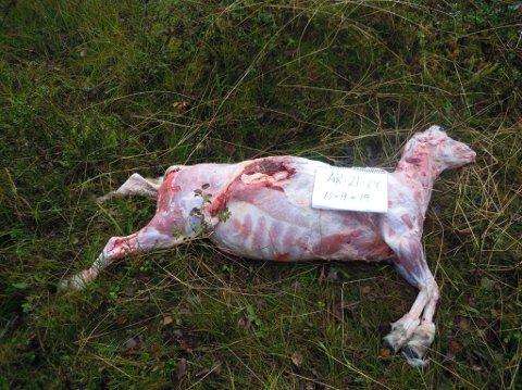 DREPT: Dette lammet ble drept av en ulv i grensetraktene mellom Kvinesdal og Hægebostad i løpet av helgen. Foto: Audun Rossevatn, Statens Naturoppsyn