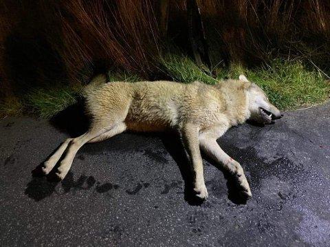 SKUTT: Her ligger ulven som ble skutt fredag kveld.