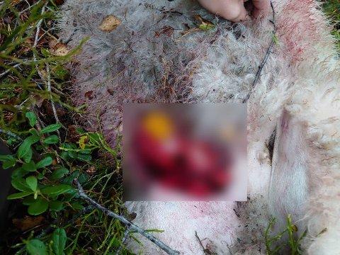 DREPT AV ULV: Statens Naturoppsyn konkluderte med at to lam som ble funnet nord på Hamreheia i Lund hadde blitt drept av ulv. Det er gitt fellingstillatelse som varer til torsdag 21. oktober klokken 12.